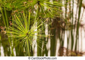 Egyptian papyrus plant.