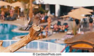 Egyptian Pigeon Sitting on a Branch on the background of the Hotel with a Swimming Pool