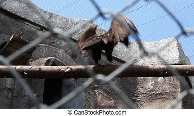 egyptian vulture in cage at zoo wave his wings and try to...