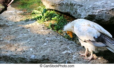 Egyptian Vulture Looking Around - Closeup of a Beautiful...