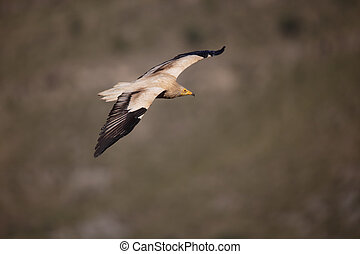 Egyptian vulture, Neophron percnopterus