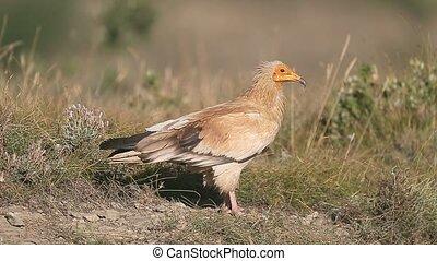 Egyptian vulture, Neophron percnopterus, Single bird on...