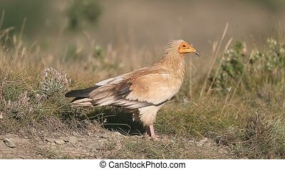 Egyptian vulture, Neophron percnopterus, Single bird on...