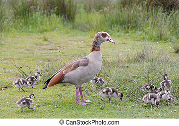 Egyption goose with babies