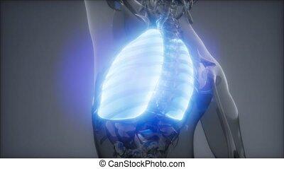 egzamin, ludzki, płuca, rentgenologia
