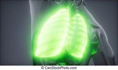egzamin, ludzki, rentgenologia, płuca