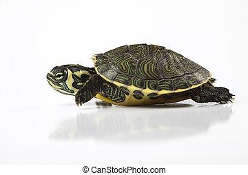 egzotic, schildpad, concept, natuurlijke , toon