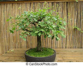 bonsai eiche stockfoto bilder und foto clipart suchen csp33331424. Black Bedroom Furniture Sets. Home Design Ideas