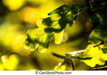 eichenblatt, rücken, licht
