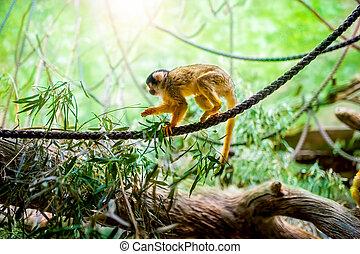 eichhörnchen- affe, in, natürlich, lebensraum, rainforest, und, dschungel