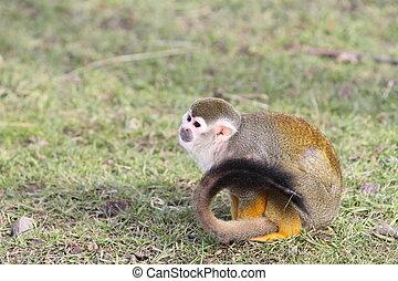 eichhörnchen- affe