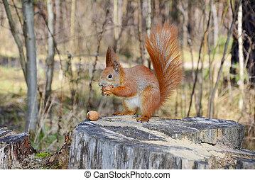 eichhörnchen, in, der, forest.