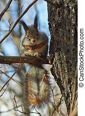 eichhörnchen, in, der, herbst, forest.
