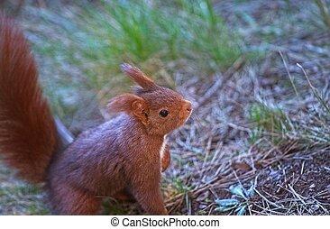 eichhörnchen, sehen, lebensmittel, in, a, wald, in, der, morgen