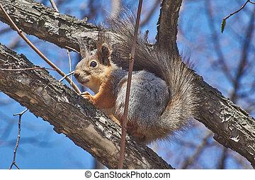 eichhörnchen, sehen, lebensmittel, in, der, herbst, forest.