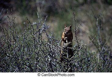 eichhörnchen, stehende , auf, der, zweige, von, büsche
