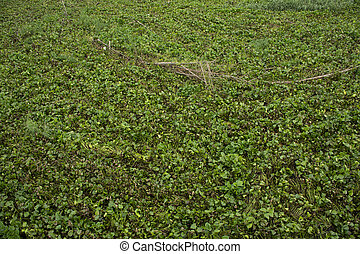 Eichhornia crassipes or Common water hyacinth and many garbage on surface of water in Sakae Krang river at Uthaithani city in Uthai Thani, Thailand