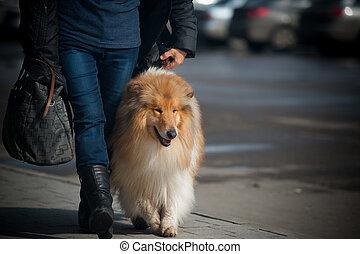 eigenaar, met, collie, wandelende