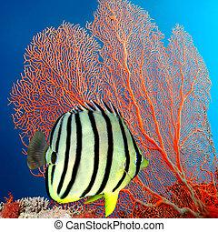 Eight-banded Butterflyfish (Chaetodon octofasciatus), Siam Bay, Thailand