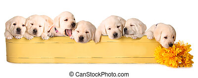 Eight lab puppies - Eight yellow lab puppies in a yellow ...