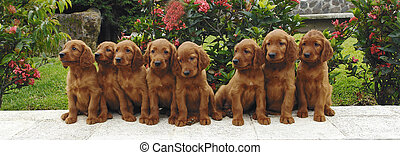 Eight setter puppies - Eight two months old pure breed red ...
