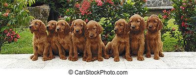 Eight setter puppies
