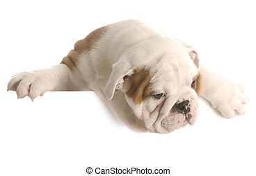 eight week old english bulldog puppy hanging over white...