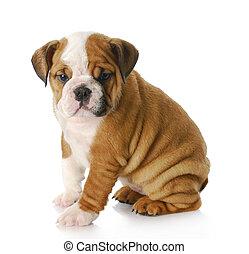english bulldog puppy - eight week old english bulldog puppy...