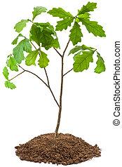 Eight-year oak tree