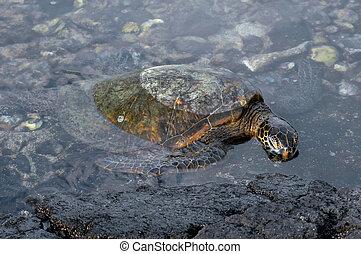 eiland, groot, overzeese schildpad