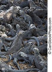 eilanden, iguanas, galapagos, marinier