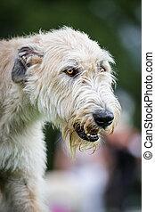 Hellbrauner Irischer Wolfshund - Ein ganz Hellbrauner...