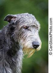 Irischer Wolfshund - Ein Grauer Irischer Wolfshund eine der...
