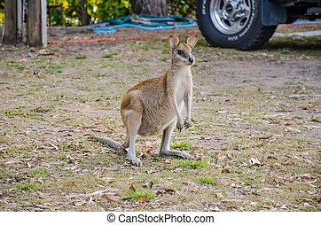 Känguru - Ein kleines Känguru auf einem Campingplatz.