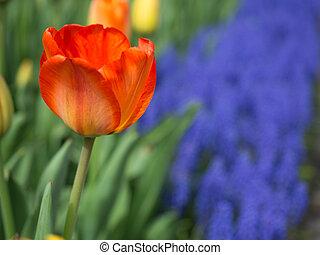 ein, orangefarben rot, tulpenblüte, bloomed, vor, weintraube hyazinthe