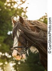 Shire Horse - Ein Shire Horse als Portrait Aufnahme mit...