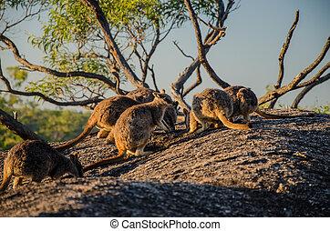 Eine Gruppe von Felsenkängurus - Kängurus auf einem Felsen...
