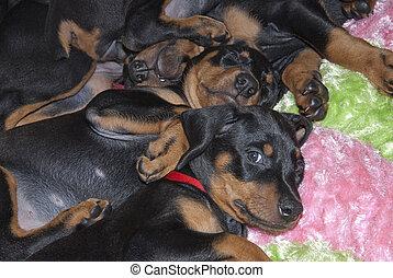 eingeschlafen, dobermann, hundebabys