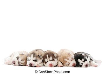 eingeschlafen, junger hund, von, sibirischer schlittenhund,...