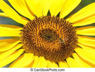 eins, auf, sonnenblume, biene, riesig, schließen, zentrieren