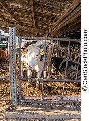 eins, bauernhof, viele, dahin, beilage, kühe