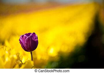 eins, lila, tulpenblüte, unter, reihe, von, gelber , tulpen