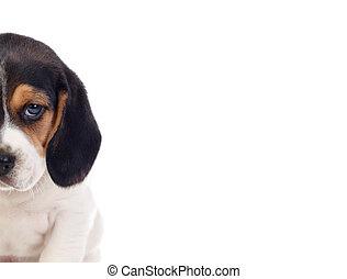 eins, schöne , beagle, hundebabys