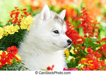 eins, sibirischer schlittenhund, junger hund, in, blumen