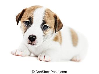 eins, wenig, wagenheber, russel, terrier, junger hund