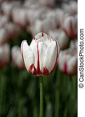 einsam, white-red, tulpenblüte, auf, der, hintergrund, von, a, feld, von, tulpen