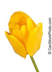 einzelne blume, von, a, gelbe tulpe