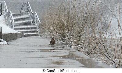 ekaterinburg., het is, snowing., mannetjeseend, duck.,...