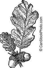 ekollon, eller, ek, nöt, med, bladen, årgång, engraving.