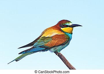 eksotisk fugl, farvet, sover, branch